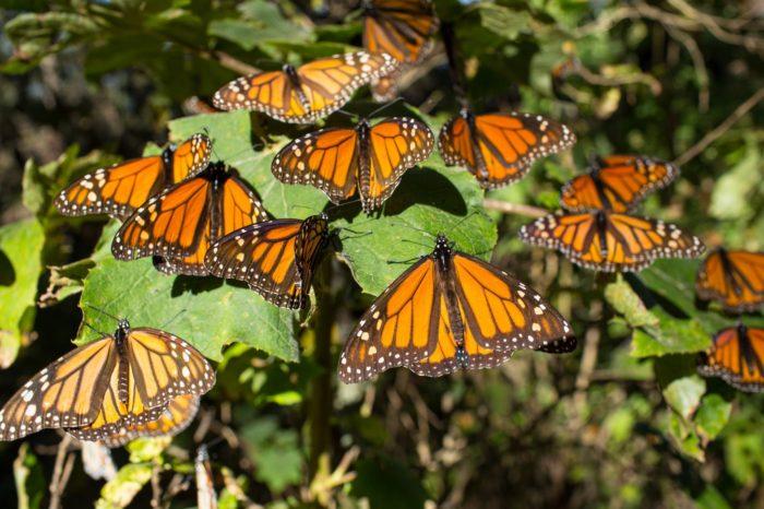 El retorno de las mariposas monarca