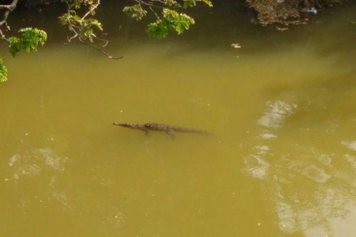 En Neiva, avistan caimán que se creía extinto