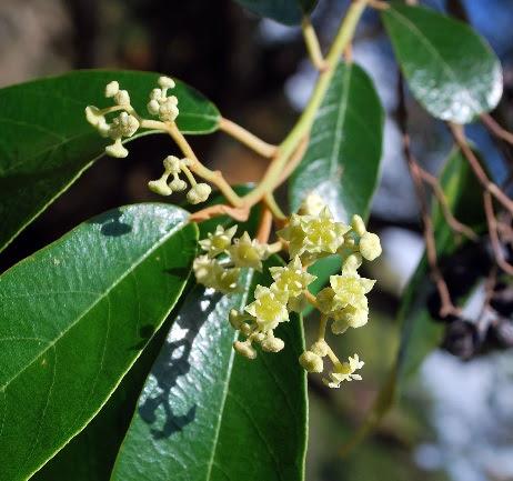 Flor fósil da nuevas pistas sobre la evolución de plantas