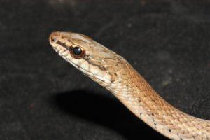 serpiente arb