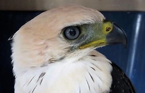 Rescatan águila coronada en El Patía