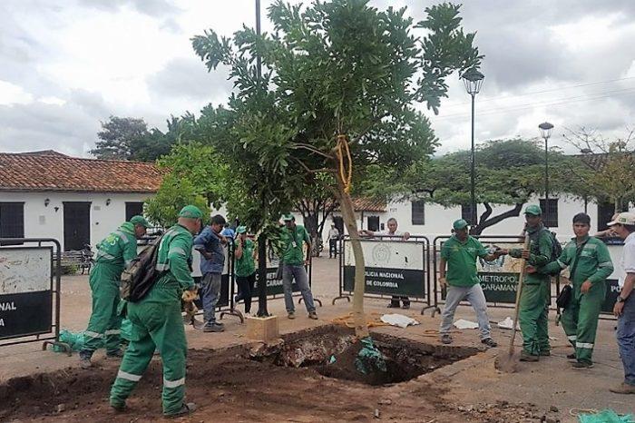 Comunidad de Girón siembra Caucho Guacarí