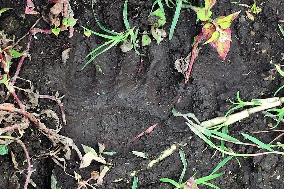 Piden a comunidad no hacer daño a oso andino y jaguar