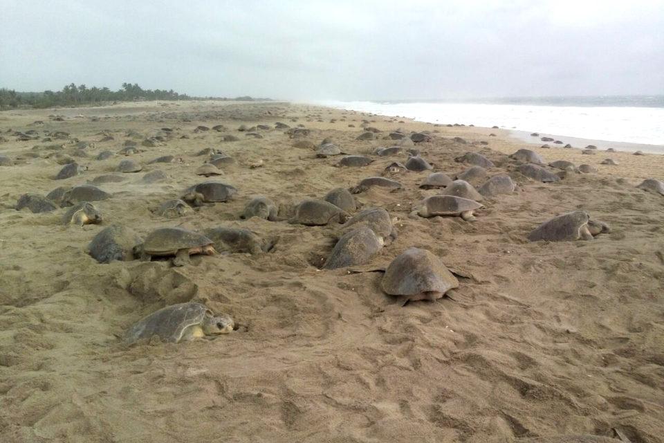 México recibe la mayor arribada de tortuga golfina