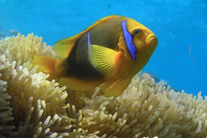 El cambio climático dificulta la reproducción del pez payaso