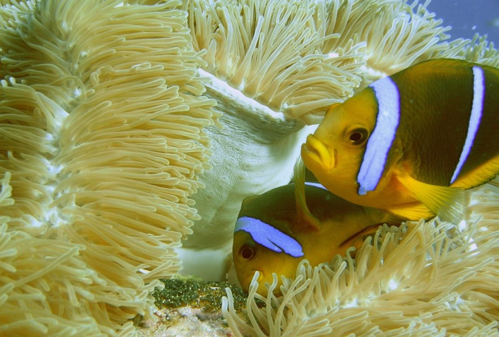 Amphiprion chrysopterus, especie de pez payaso. Fotos: ©Suzanne C. Mills