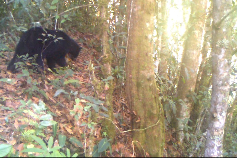 Primer registro de oso andino en la cuenca alta del río Las Ceibas, Huila