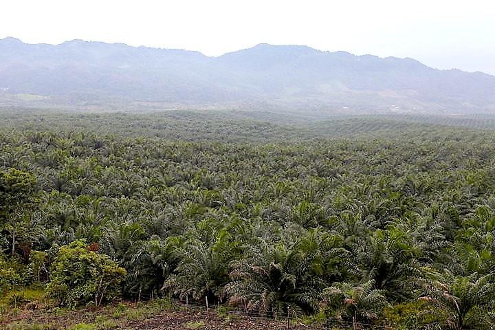 Palma africana sigue devastando los bosques en el norte de Guatemala