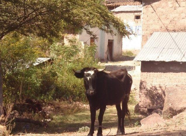 Rabia en el ganado por vampiro común, un problema de salud pública en Perú