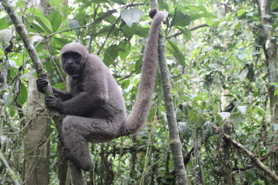 Liberaron a un grupo de monos churucos en el Huila