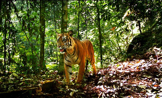 Los tigres de Sumatra se aferran a la supervivencia en bosques fragmentados
