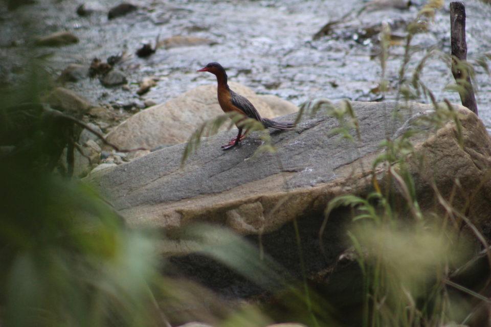 Pato de torrente aparece en la cuenca alta del río Las Ceibas, en Neiva