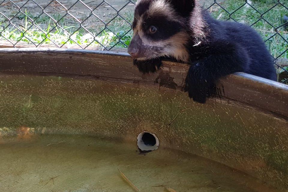 Avanza rehabilitación de oso de anteojos en Antioquia